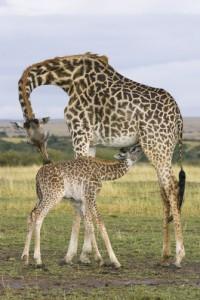 Las jirafas también amamantan